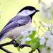 Springtime Chickadee - Manzella Marketing Buffalo, NY